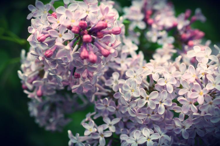 lilac_2