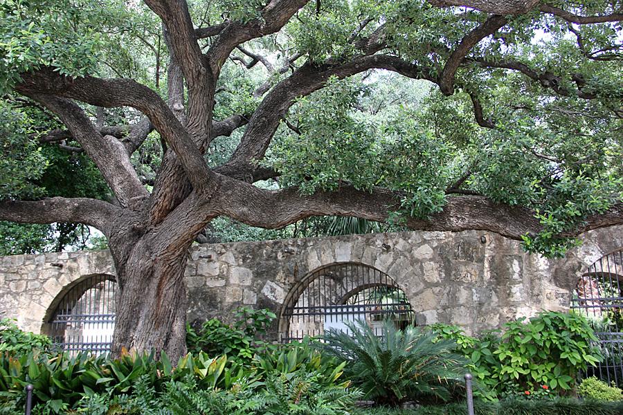 tree at alamo