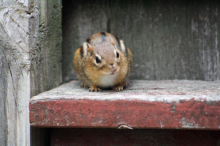 chipmunk hi