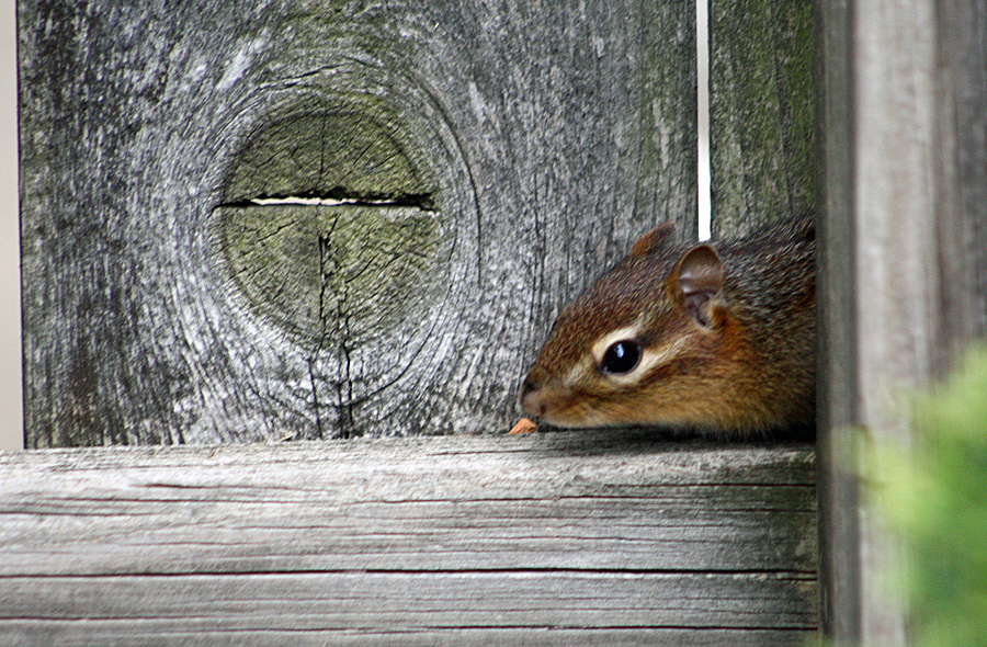 chipmunk peek