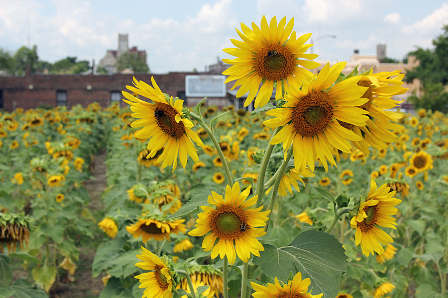 sunflower bundle2
