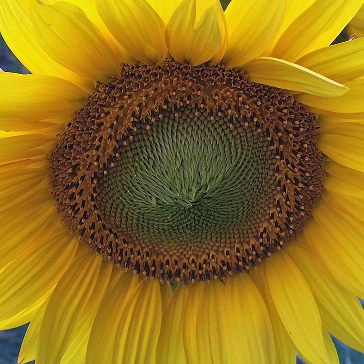 sunflower center